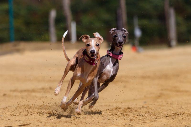 Projeto de lei 70/2021 proíbe a realização de corrida de cães em Santa Catarina – Foto: Pixabay