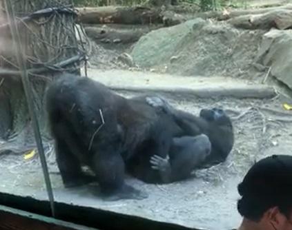 Casal de gorilas é 'flagrado' fazendo sexo oral em meio a zoológico – Foto: New York Post/Divulgação/ND