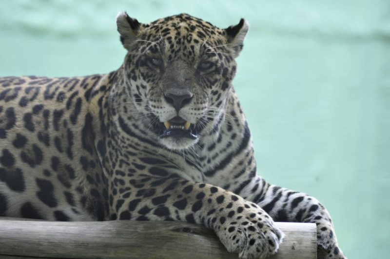 "<span style=""font-weight: 400;"">Biólogos, veterinários e zootecnistas atuam diariamente no manejo dos animais</span>&#8211; Foto: Arquivo/Zoo Pomerode"