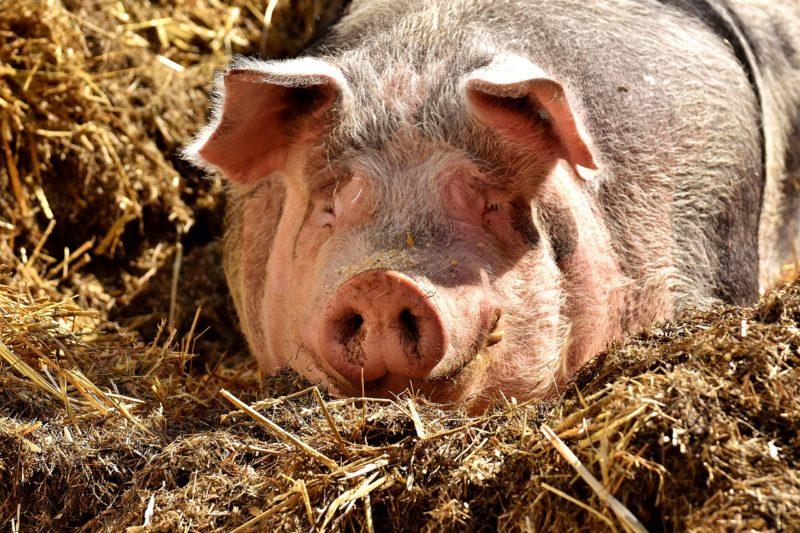Morador de Joinville ganhou porco na rifa da Fazendinha – Foto: Pixabay