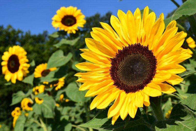 """""""Girassol de Julia"""" que é resultado de um romance de verão – Foto: Pixabay/ND"""