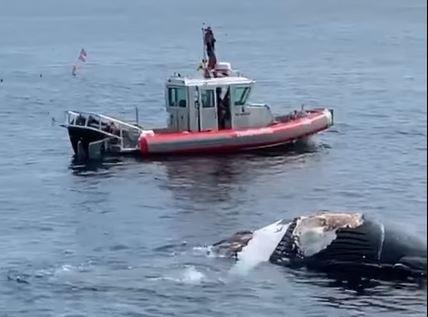 Tubarões atacaram corpo de baleia jubarte na costa dos EUA – Foto: Danilo/ND