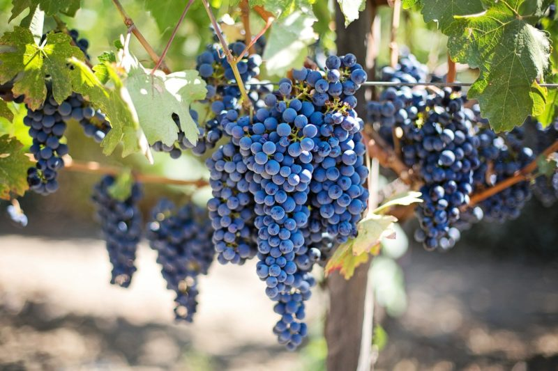 A Sangiovese e a Montepulciano geram excelentes vinhos na serra – Foto: Pixabay