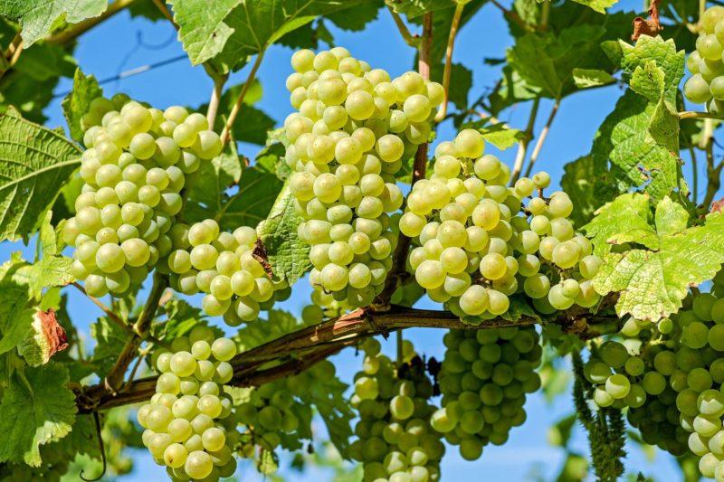 Vermentino, Ribolla Gialla e Garganega são brancas com ótimos resultados – Foto: Pixabay
