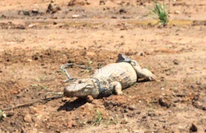 Jacaré é encontrado machucado em casa em Tubarão – Foto: Divulgação/ND